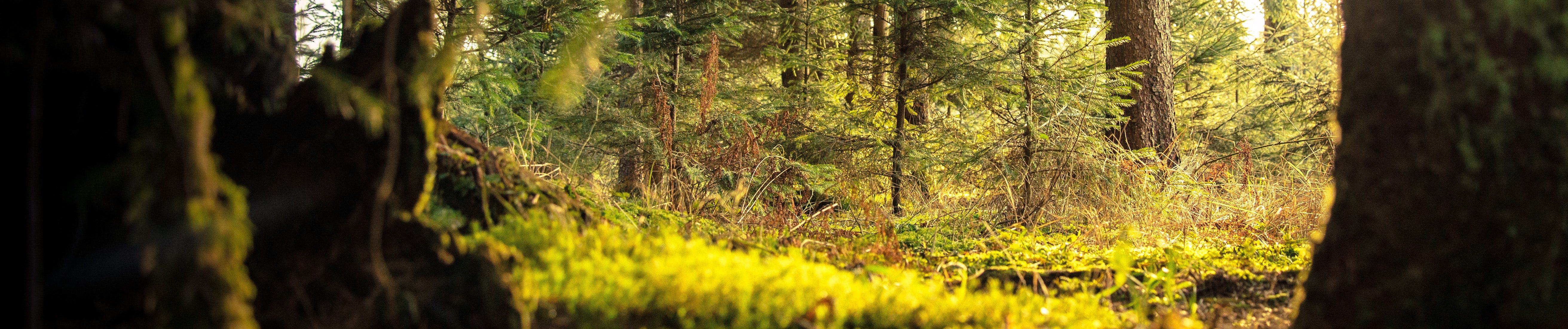 Slovenian forest of Conifer trees bathing in sunlight