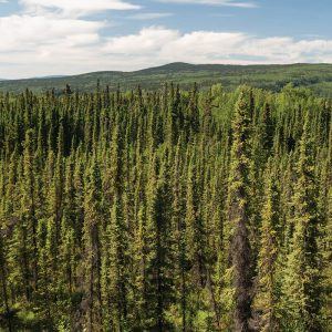 Reforestation Strategies - Forest Between Stewart and Dease Lake BC